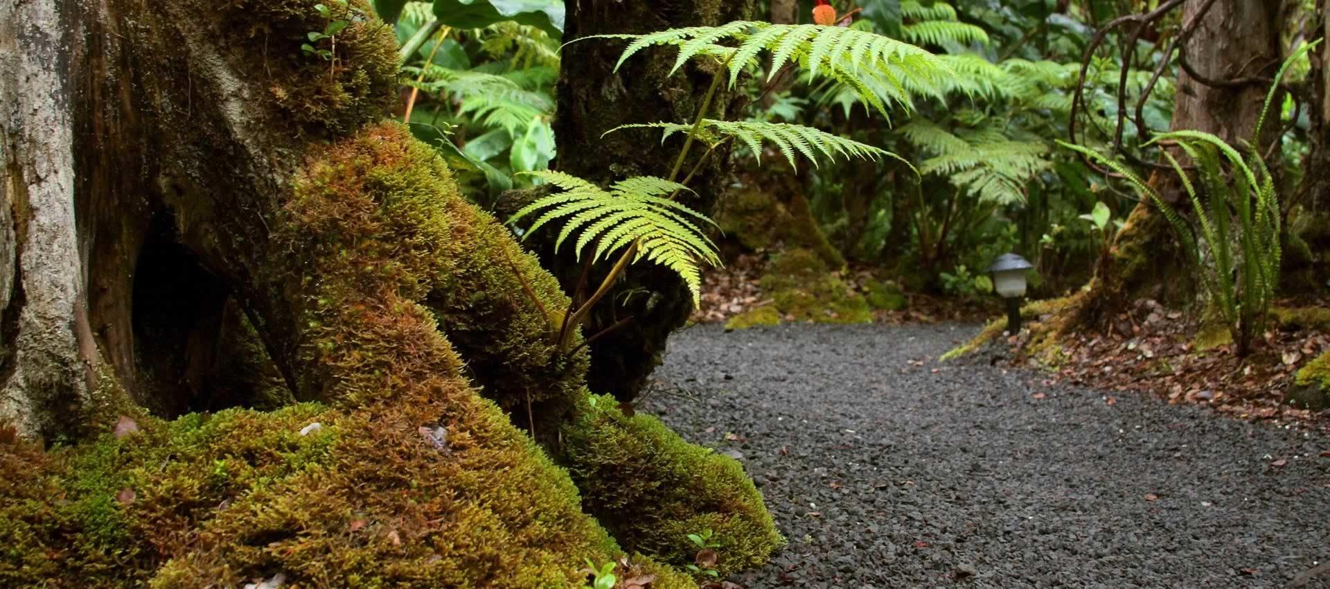 Volcano-Hawaii-tree-ferns