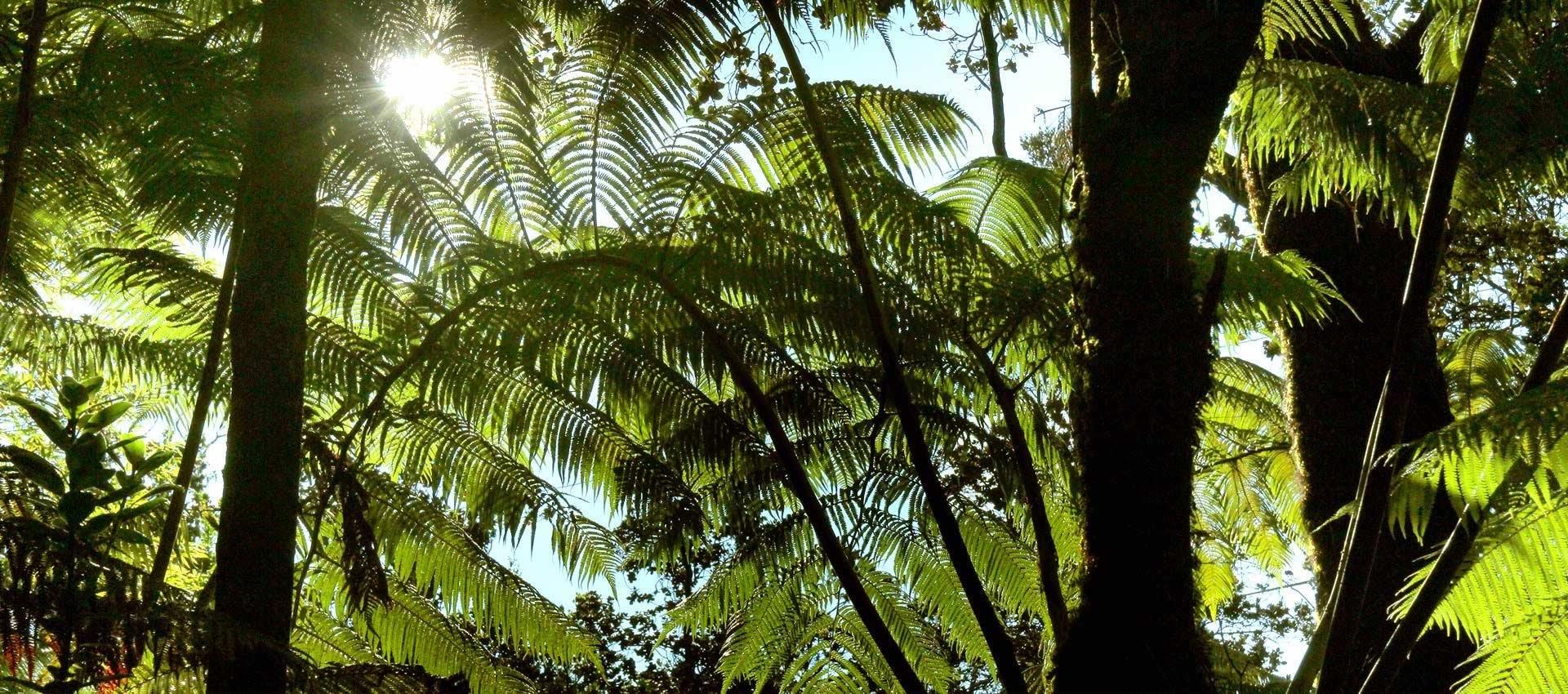 Volcano-Hawaii-tree-rainforest