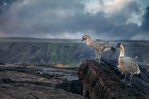 Nene Birds